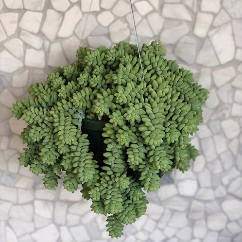 Burro's Tail hanging plants