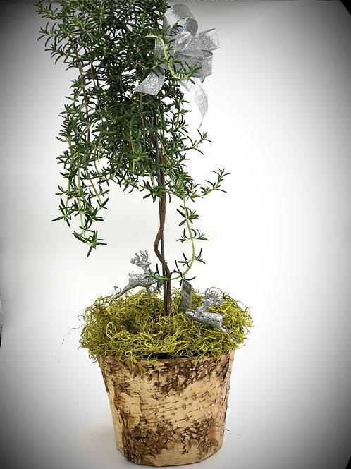 Beautiful Holiday Rosemary Topiary Tree