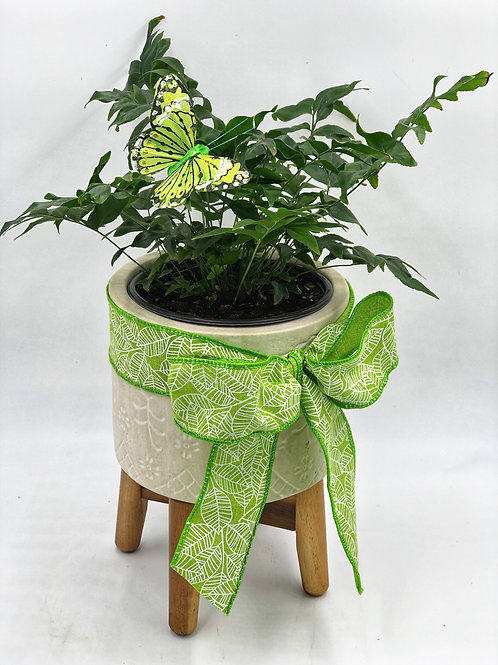Japanese Netvein Hollyfern in a Ceramic Planter with Wooden Stand
