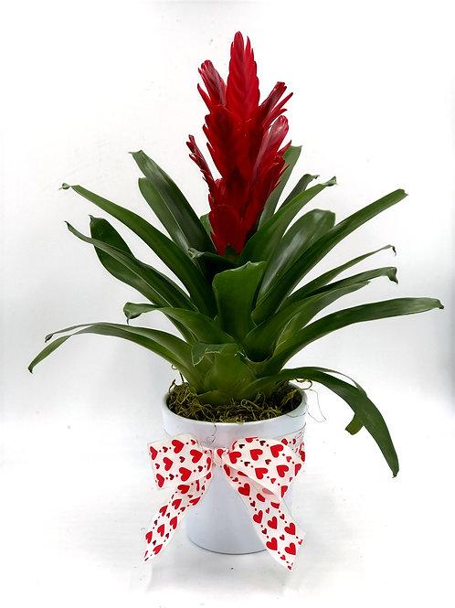 Sexy Bromeliad Plant