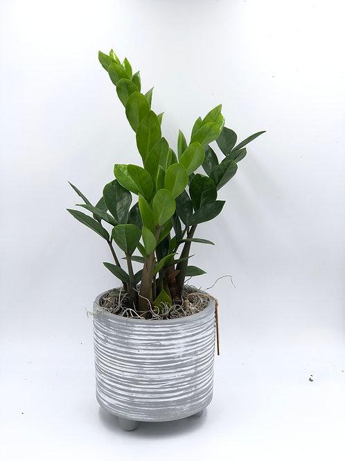 Zuzu Plant