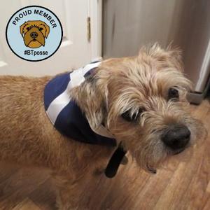A border terrrier dog wearing a scottish saltire dog bandana