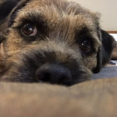 A close up of a border terrier's face and nose