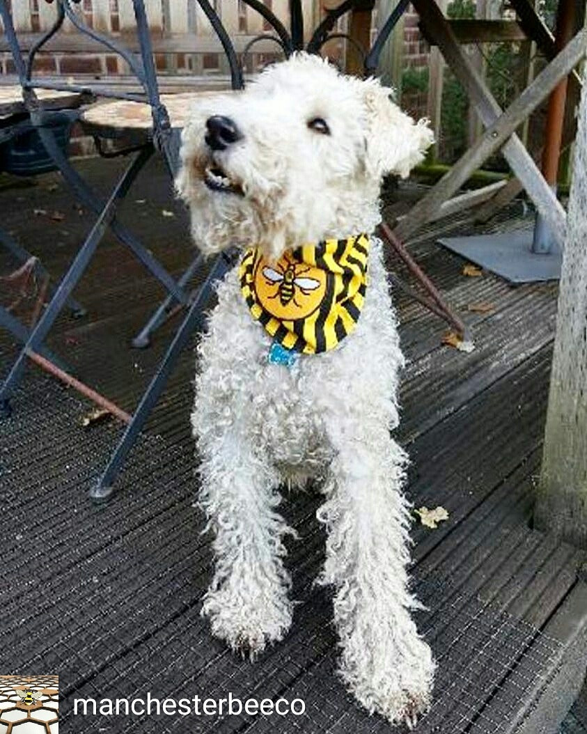 Paddy the Wire Fox Terrier