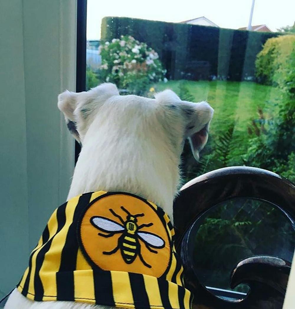Bee ready for Mancunian dog walks!