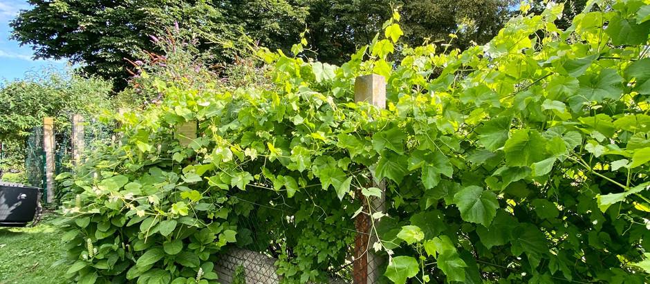 Weinreben im Sommer schneiden