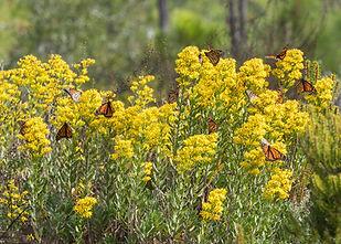 monarch-butterflies-on-goldenrod-istock-