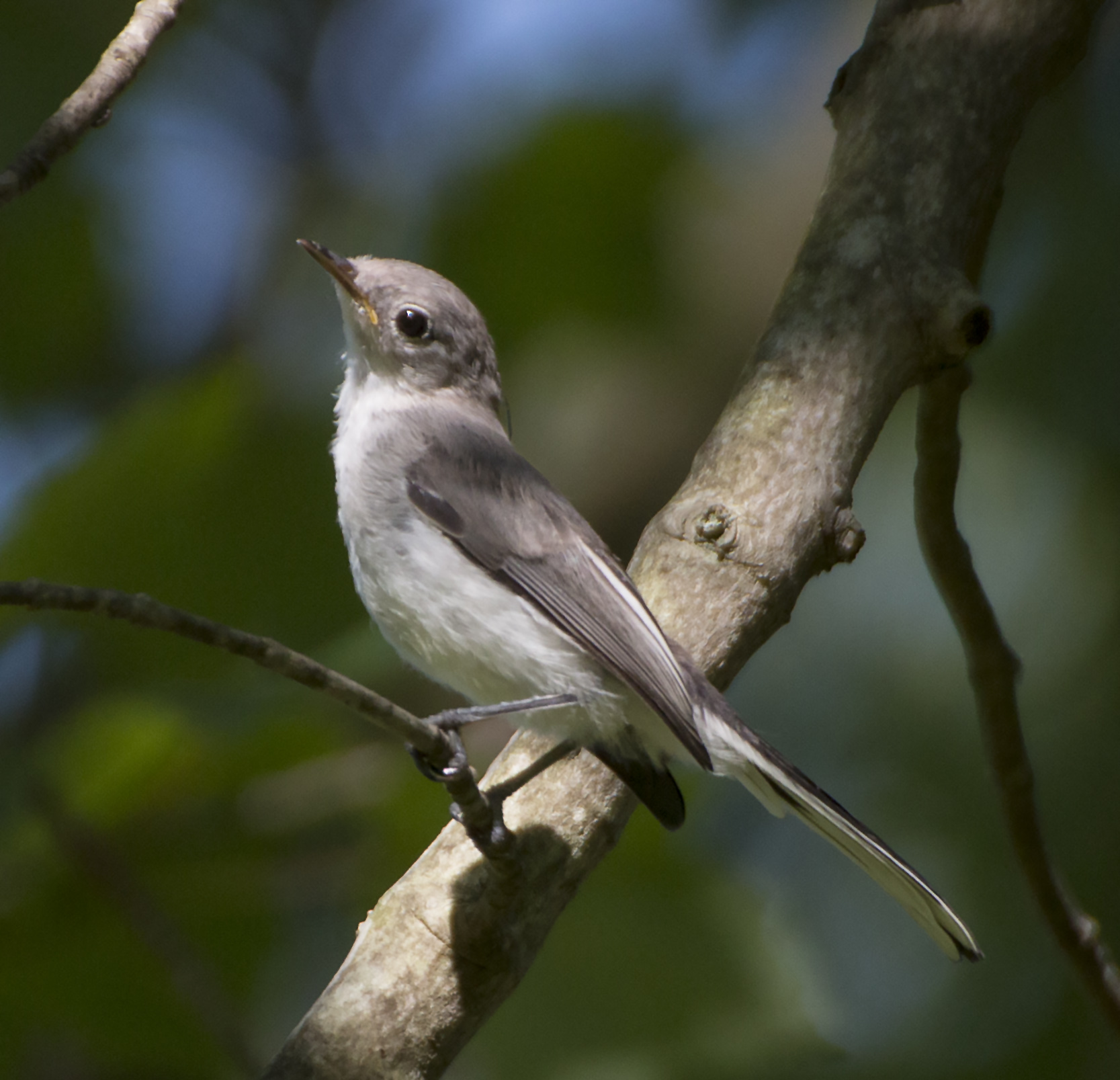 Juvenile Blue-Gray Gnatcatcher