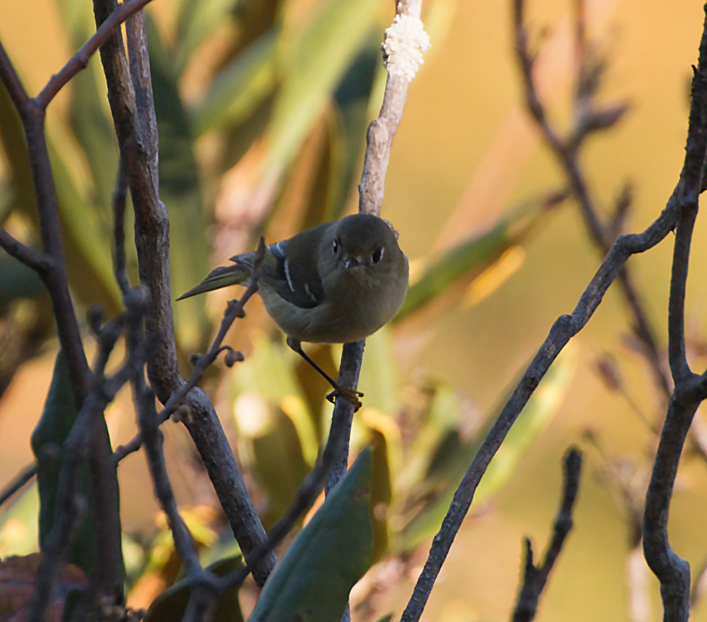 Curious Ruby-Crowned Kinglet