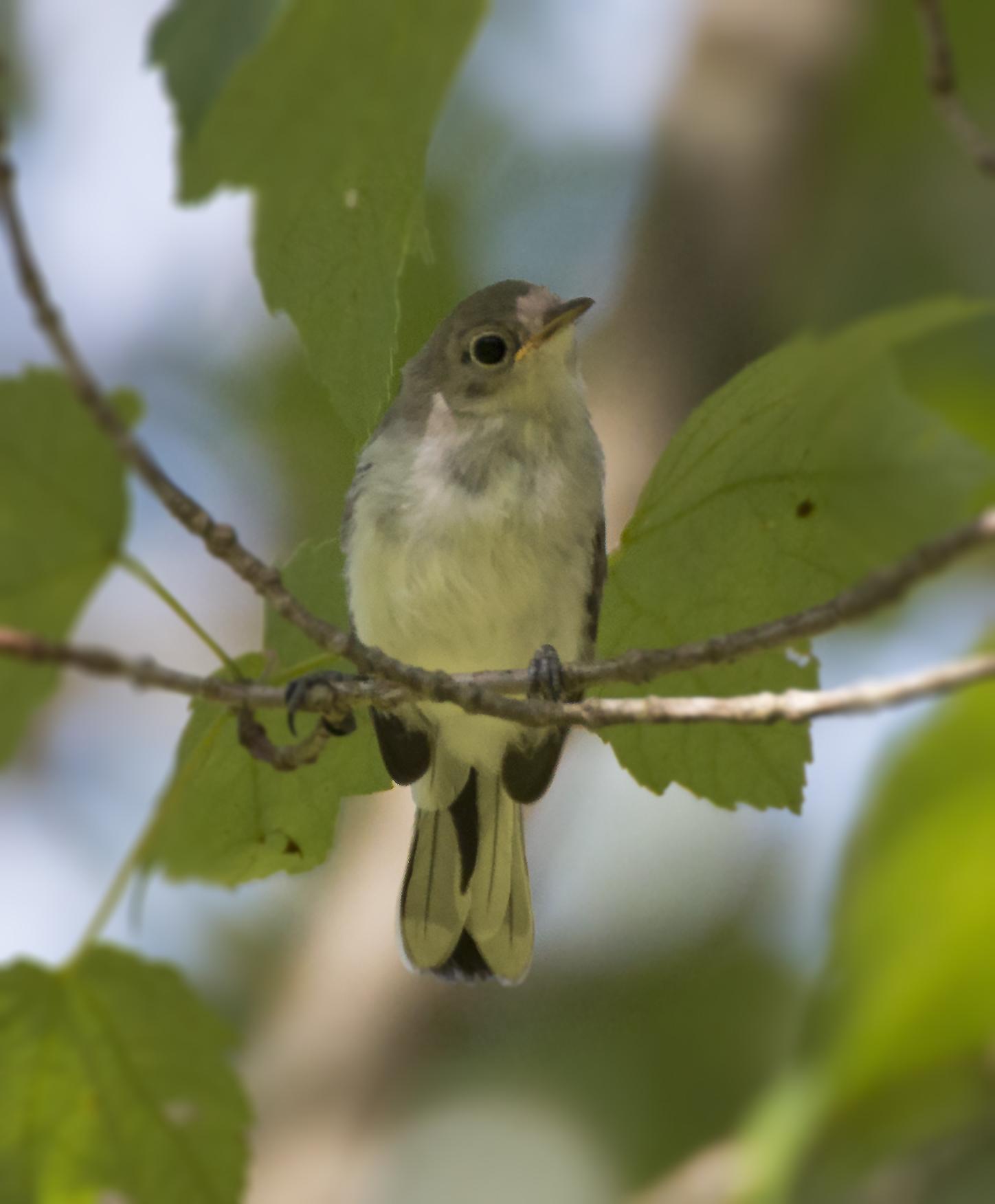 Juvenile Blue-Gray Gnatcatcher