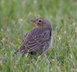 Brown-Headed Cowbird recently fledge