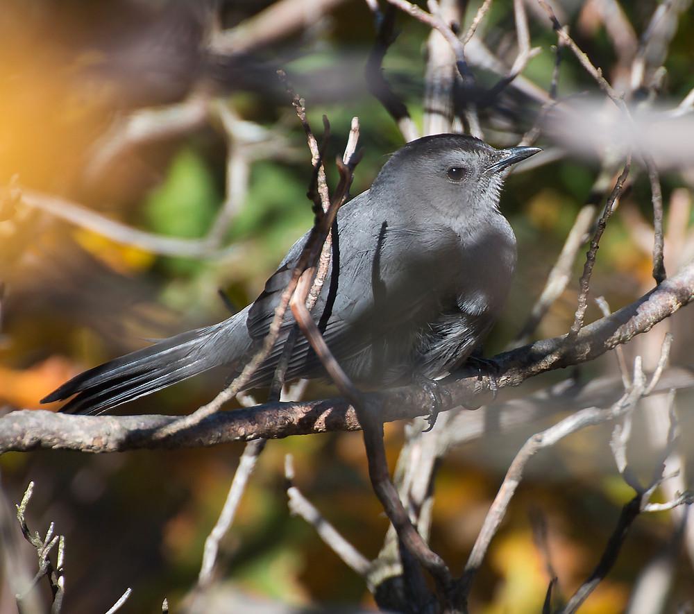 Cautious Gray Catbird