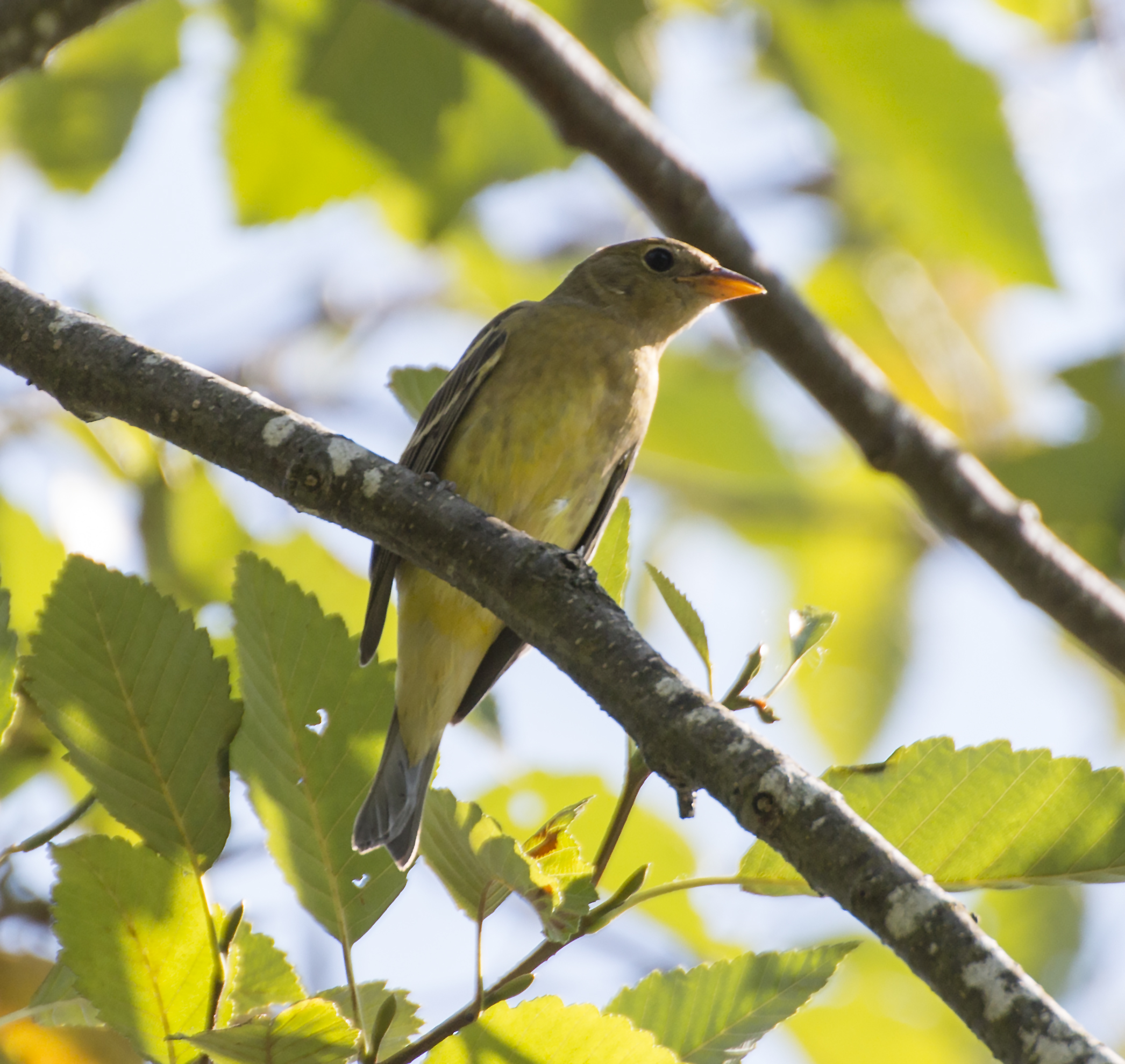 Juvenile Western Tanager