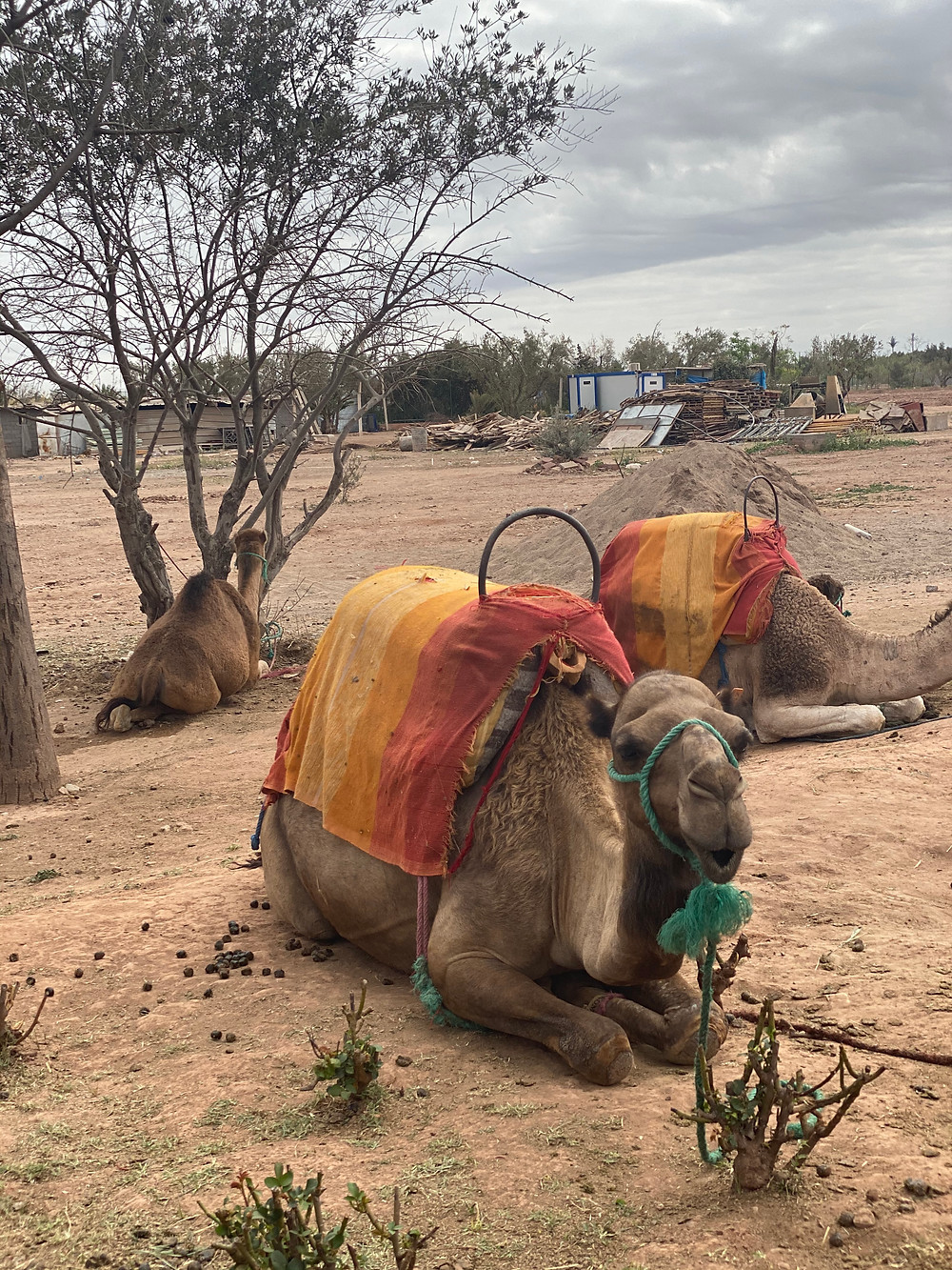 camels in Marrakech Morocco during COVID-19 shutdown