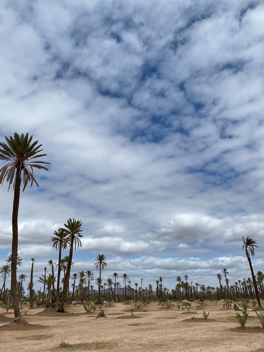 Empty palm field in Marrakech, Morocco