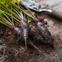 Carrots - Daucus Carota 'Purple Sun F1'
