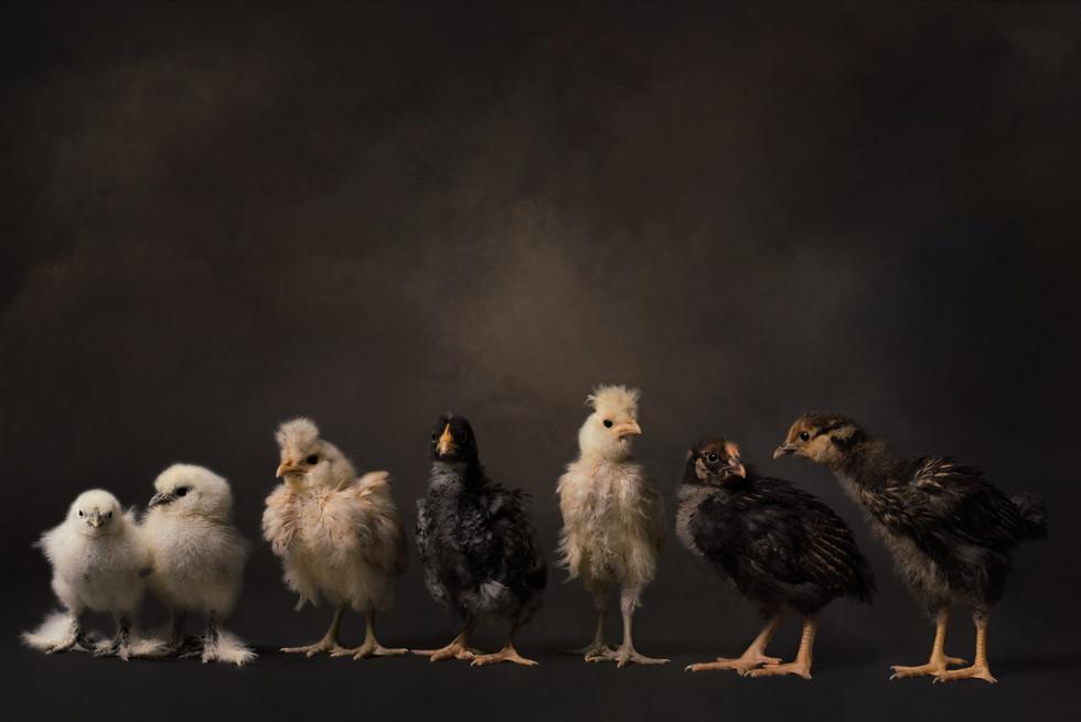 chicken composite2.jpg