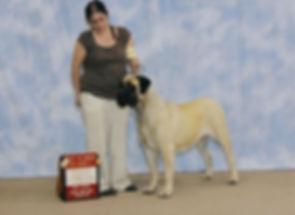 Mastiff show dog