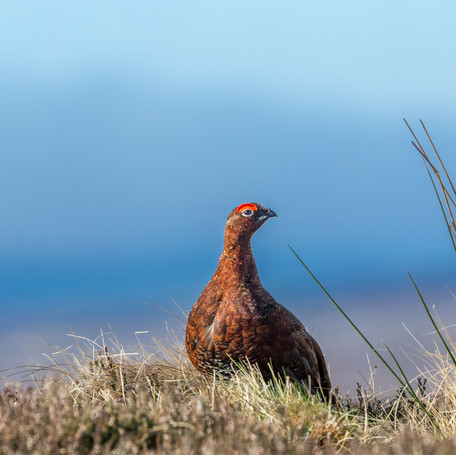 Spring Grouse Report 2021
