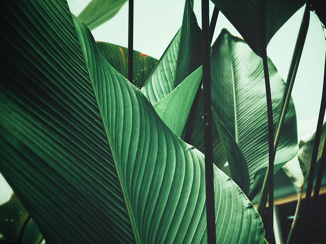 Beautiful of green tropical leaves.jpg