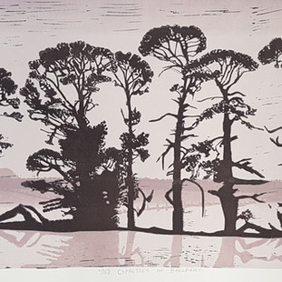 Old cypresses of Ballarat