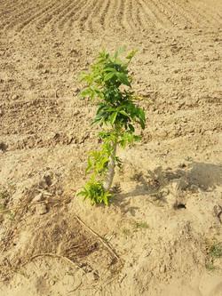 A newly planted Ardu sapling