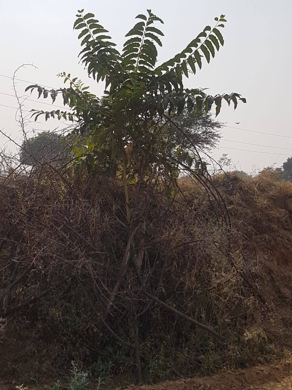 Ardu tree a year after planting!