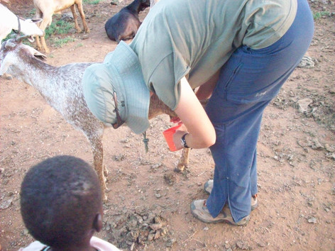 Practicing goat milking skills, Kenya