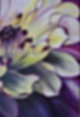 Purple Yellow Dahlia.JPG