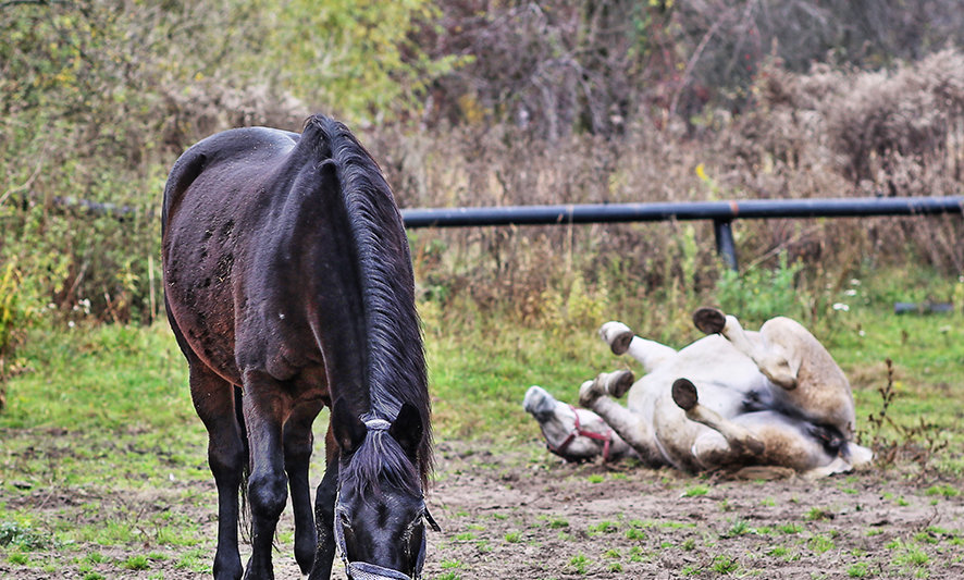Horse stud SMULSKO