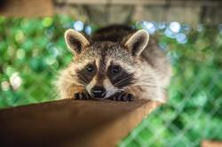 Raccoon_Horizontal