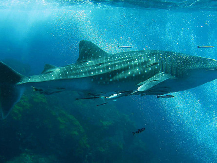 Whale Shark: A Whale or a Shark?