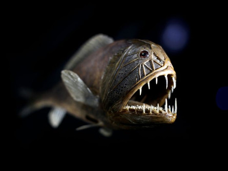 The Edge: Fangtooth Fish