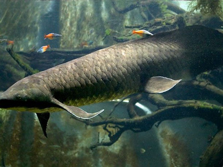 The Lungfish Legend