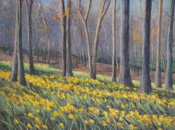 Hills of Daffodils