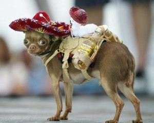 Saddle up the chihuahua