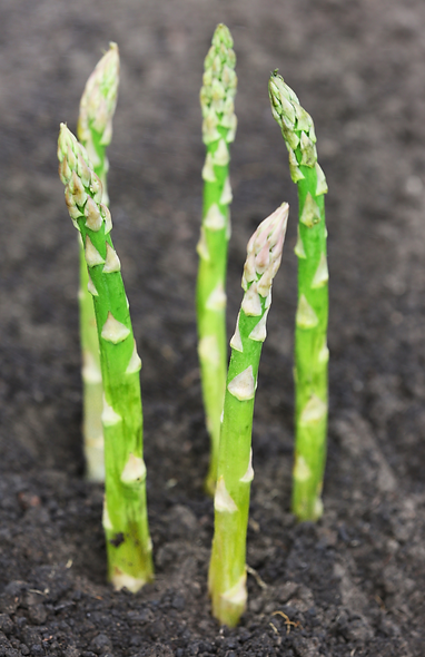 Asparagus Growing.png
