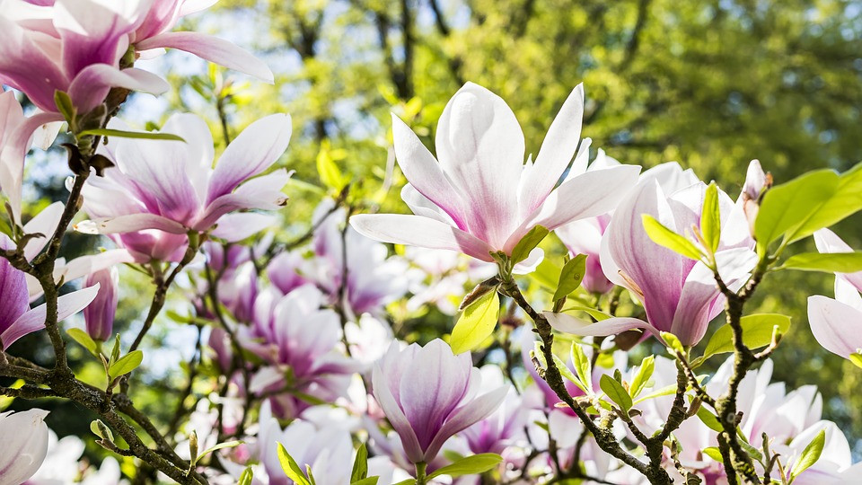 Lavender and white lotuses / Mini Quiet Times with a Loved One with Alzheimer's / www.HoneycombOasis.com