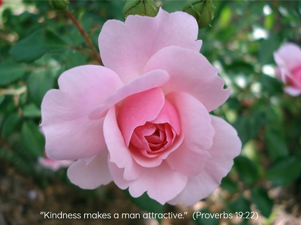 Beautiful pink rose - In Pursuit of True Beauty - www.HoneycombOasis.com