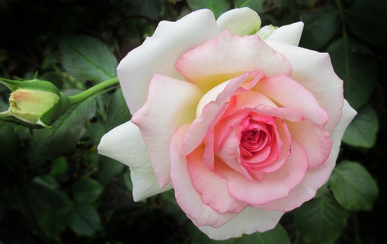 White and pink rose / Mini Quiet Times with a Loved One with Alzheimer's / www.HoneycombOasis.com