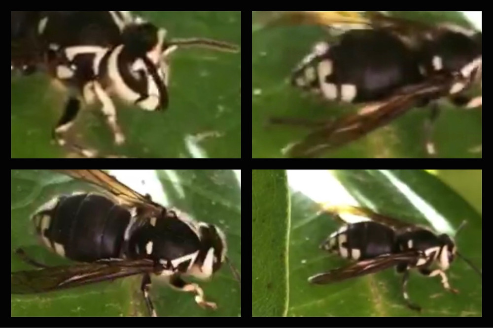 4 pics of hornet on leaf in rhodie bush / Hornets' Nest Sting Operation / www.HoneycombOasis.com
