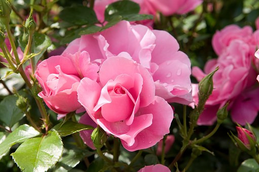 Deep pink roses / Mini Quiet Times with an Alzheimer's Patient / www.HoneycombOasis.com