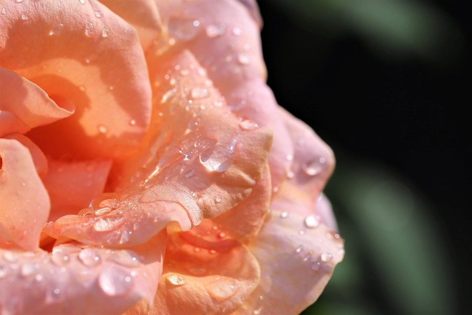 Soft orange rose, partial / Mini Quiet Times with a Loved One with Alzheimer's / www.HoneycombOasis.com