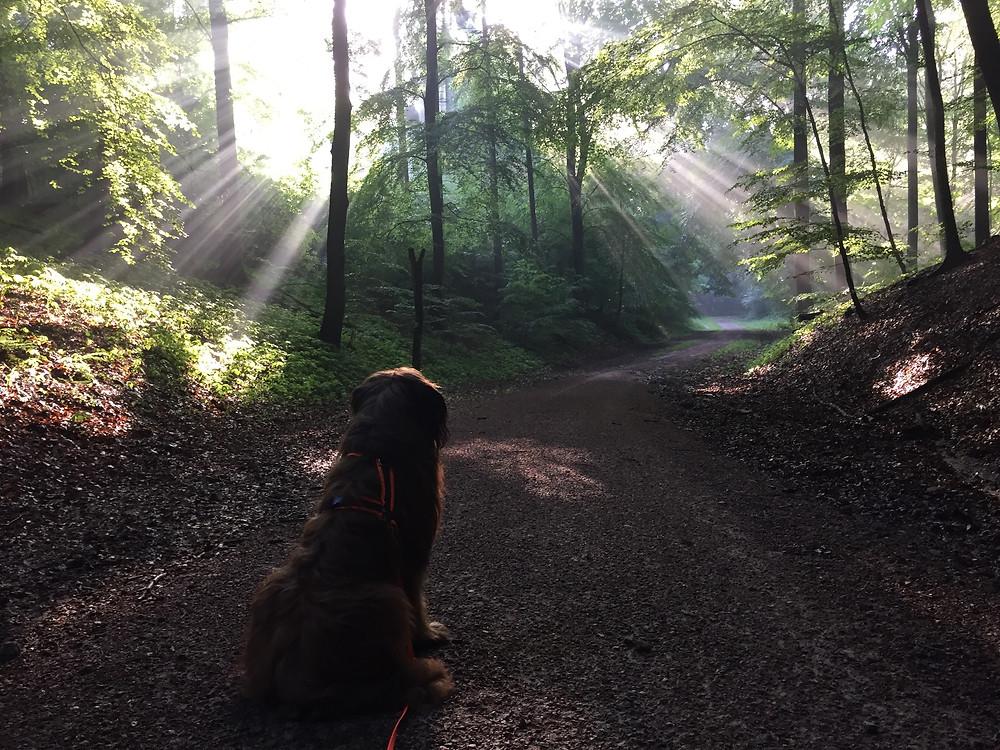 Mein Hund Grisou vom Vossbern, ein Briard im Wald, der auf einen von Sonnenstrahlen beschienenen Waldweg schaut...