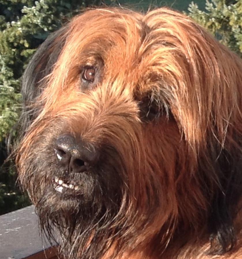 Mein langhaariger Hund Griou als Symbol für die intuitive Kommunikation besonders zu unseren Tieren