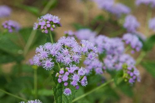 Conoclinium coelestinum - Mistflower
