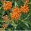 Thumbnail: Asclepias tuberosa - Butterflyweed