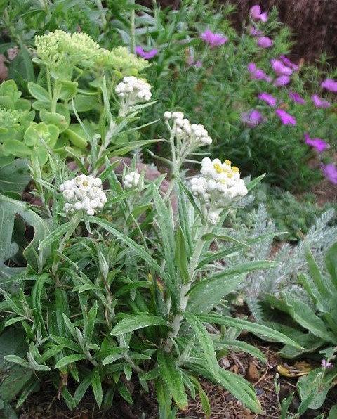 Anaphalis margaritacea -Pearly Everlasting