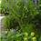 Thumbnail: Baptisia australis - Blue Wild Indigo
