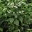 Thumbnail: Ageratina altissima - White Snakeroot